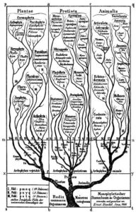 Tree of life in Generelle Morphologie der Organismen (1866).